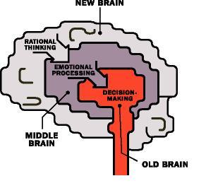 Etapas de cerebro en ingles